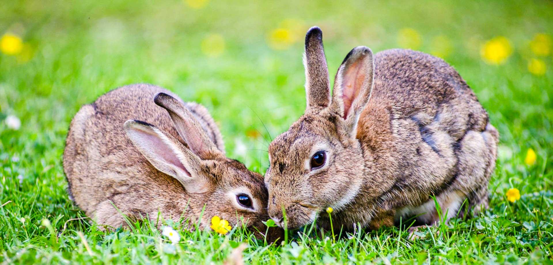 european-rabbits-1006621